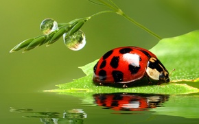 Picture greens, water, drops, macro, insects, Rosa, reflection, rendering, ladybug, beetle, Wallpaper from lolita777
