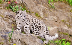 Picture IRBIS, snow leopard, is, kitty, looks, scree