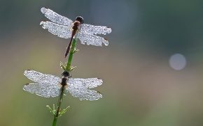 Picture drops, macro, lights, two, pair, wings, stem, dragonflies, Wallpaper from lolita777