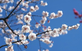 Wallpaper The sky, Sakura, Branch