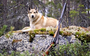 Picture forest, dog, dog, hunting, the gun