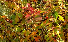 Picture autumn, berries, background, Bush, texture, cover