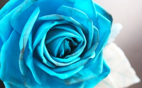 Picture blue, blue, rose