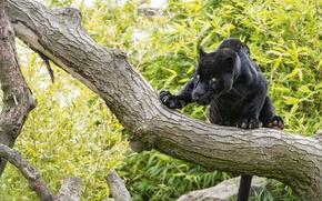 Picture cat, look, tree, black, Jaguar, ©Tambako The Jaguar