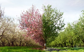Picture summer, heart, Tree, spring, summer, flowering, heart, tree, spring, flowering