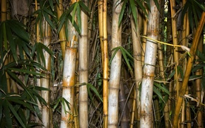 Picture leaves, bamboo