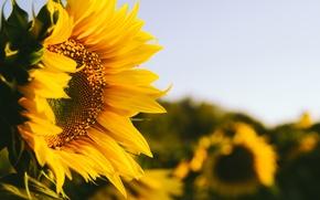 Picture field, summer, the sun, macro, flowers, orange, nature, heat, sunflower, plants