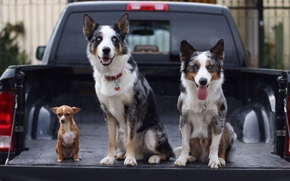 Picture machine, dogs, trio, body, pickup, Chihuahua, the border collie, Trinity