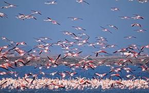 Wallpaper the sky, birds, lake, pack, Flamingo