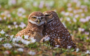 Picture birds, owls, a couple, owls, Burrowing owl