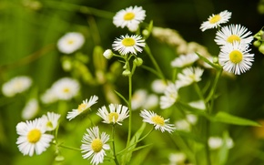 Picture grass, flowers, nature, glade, chamomile, white