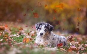 Picture autumn, leaves, dog, puppy, Australian shepherd, Aussie