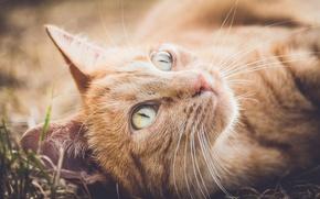 Picture cat, cat, mustache, look, muzzle, red cat
