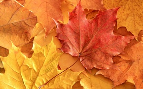 Picture autumn, leaves, nature, maple