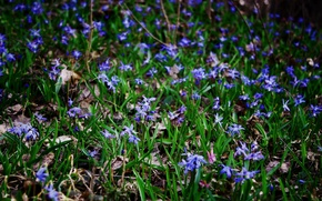 Picture grass, joy, flowers, nature, mood, foliage, spring, contrast, snowdrops, bright
