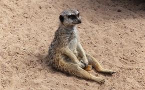Picture animal, sitting, meerkat