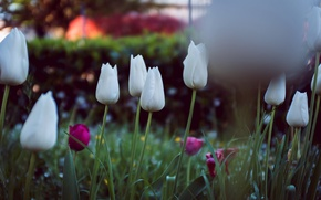 Picture flowers, petals, tulips, white