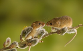 Picture animals, branch, pair, mouse, Verba, rodents