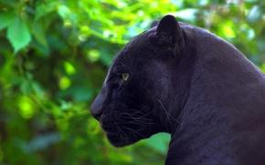 Picture predator, Panther, Jaguar, profile