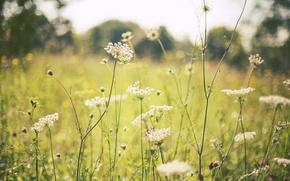 Picture field, summer, grass, flowers