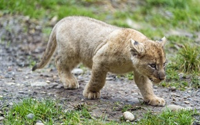 Picture cat, grass, cub, kitty, lion, ©Tambako The Jaguar