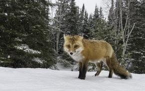 Wallpaper looking, Fox, snow, hunting, winter
