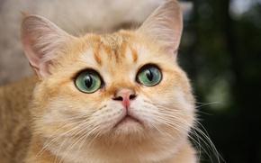 Wallpaper cat, white, beautiful, cat