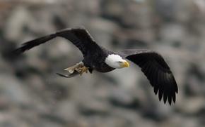 Picture flight, wings, Bird, bird, stroke, bald eagle, bald eagle