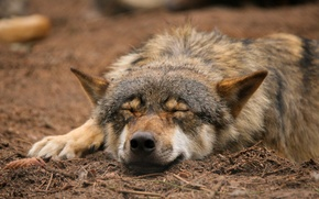 Picture nature, wolf, sleeping, by Quiet-bliss