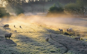 Picture field, fog, sheep, morning