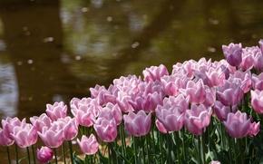 Picture flowers, glare, pond, Park, shore, petals, Tulips, pink