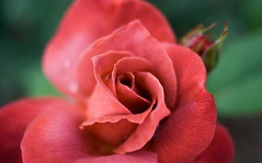 Picture rose, macro, red flower