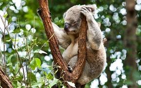 Picture forest, tree, Australia, Koala, herbivores, marsupials