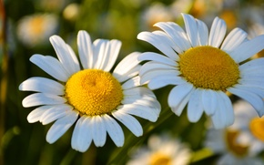 Picture flowers, chamomile, spring, beautiful, flowering, aroma, two flowers