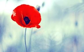Wallpaper red, blue, Mac, poppy