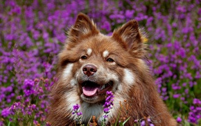 Picture face, flowers, dog, Finnish lapphund
