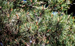 Picture needles, tree, spruce, shoots