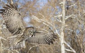Wallpaper trees, owl, flight, forest, bird