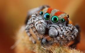 Picture eyes, look, macro, spider, jumper