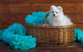 Picture white, decoration, paper, background, blue, basket, Board, portrait, dog, puppy, fabric, wooden, face, sitting, cutie, …