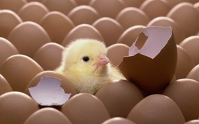 Picture egg, shell, chick, chicken