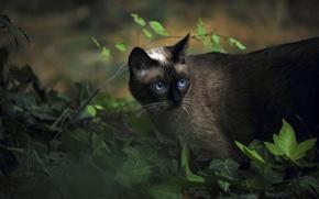 Wallpaper animals, Siamese, cat