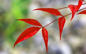Picture autumn, leaves, nature, branch, the crimson
