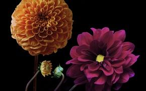 Picture flower, color, black background, buds, dahlias