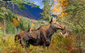 Picture autumn, forest, family, moose, October, Moose