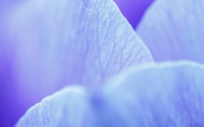 Wallpaper macro, petals, blue, flower, veins