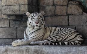 Picture cat, white tiger, stones