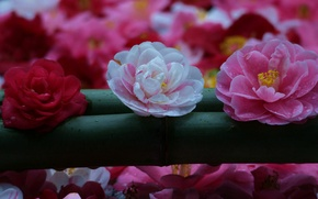 Picture trio, buds, Camellia