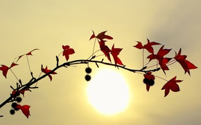 Picture leaves, the sun, Branch