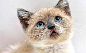 Picture cat, eyes, look, kitty, background, portrait, muzzle, blue-eyed